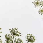 Umbels with seeds of the hogweed (Heracleum) against the sky.