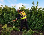 electrically powered hedge cuttings in action